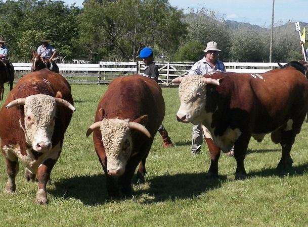 80ª Expo Campanero. Con 150 toros Angus y Hereford, la Agropecuaria de Lavalleja es centro de genética de la mejor del país