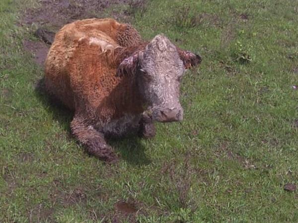 Perros atacan vacas y matan un ternero