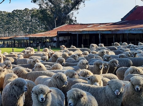 En el mercado internacional la lana subió 1,2%