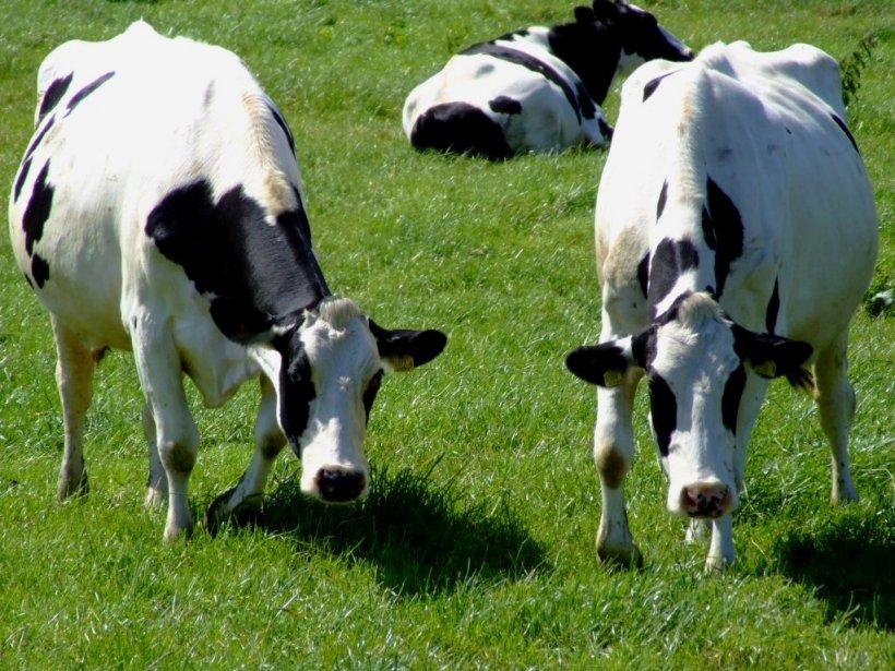 Clima ideal para el ganado, también para los parásitos