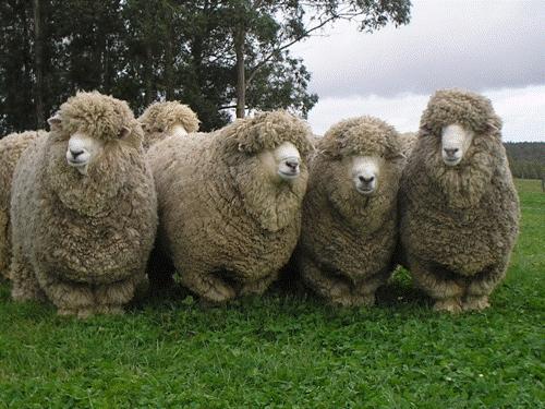 Alta colocación de carneros