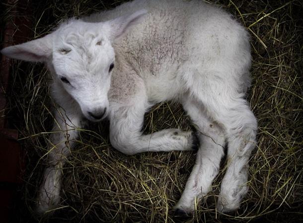 Excelentes diagnósticos de preñez mientras crece interés por ecografías en lanares