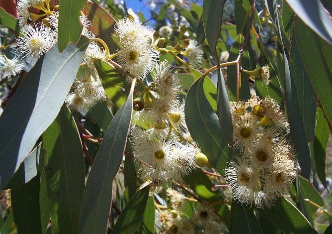 Cosecha de miel de Eucalyptus 2017
