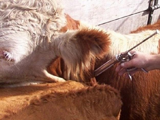 Vacunación antiaftósica, garrapatas y revisación de majadas