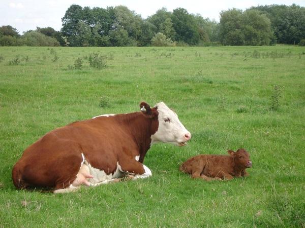 El manejo preparto es fundamental para lograr vacas más eficaces