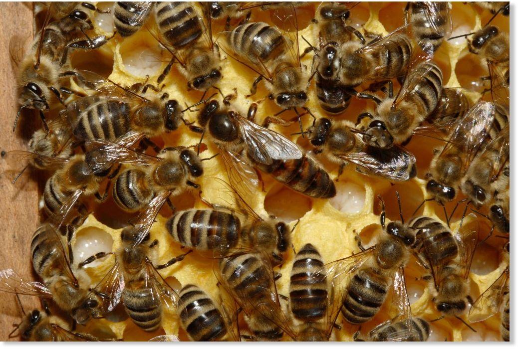 Transgénicos , abejas y consecuencias en el comercio.