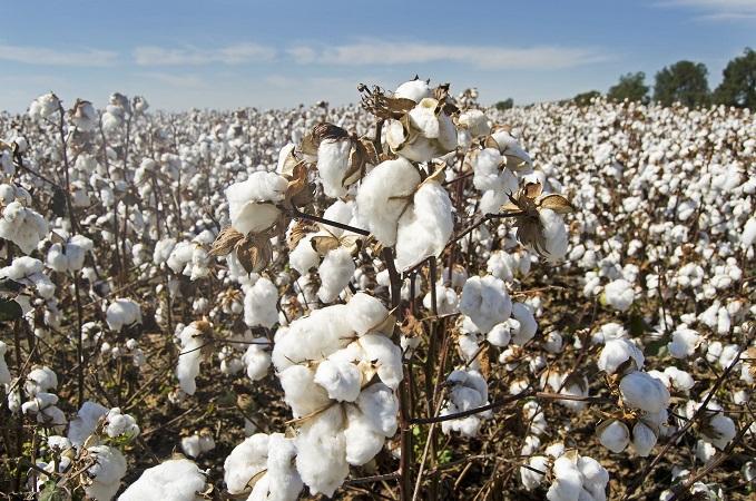 Anuncian mayor demanda del algodón en esta temporada