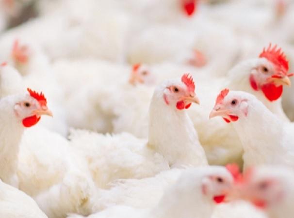 Auspicioso informe de Rabobank sobre el mercado avícola.