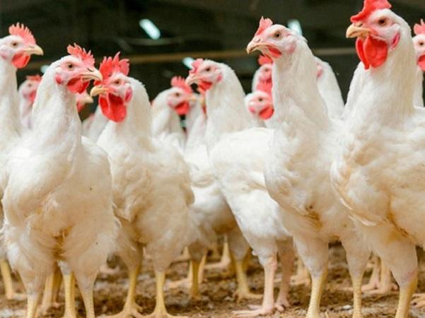 Europa promoverá carta de sostenibilidad para la carne de ave, y se posiciona con la Declaración de Berlín