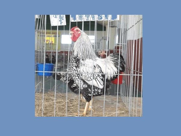 La Expo Avícola de Salto edición 2021 contará 470