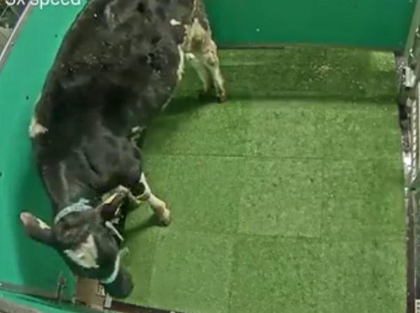 Para resolver el problema ambiental, investigadores enseñan a las vacas a ir al baño