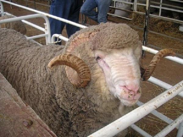 Se recupera la lana con una suba del 3,2% y supera los US$ 10.