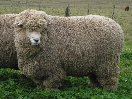 Una zafra de carneros que finaliza con alta colocación y buenos precios