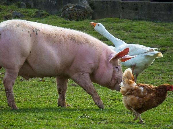 Según la OIE, la peste porcina estaría en República Dominicana desde abril