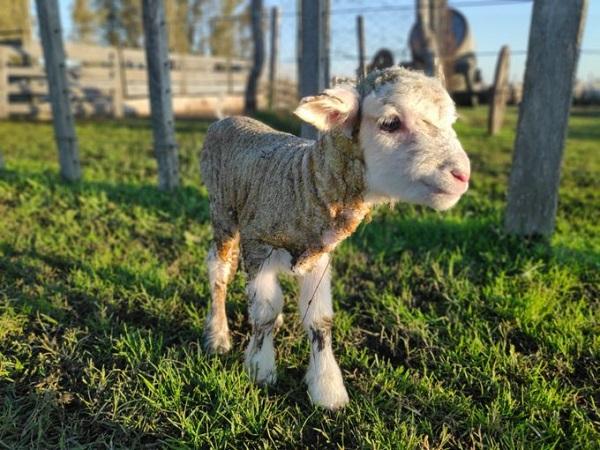 SUL: Crecen las exportaciones ovinas