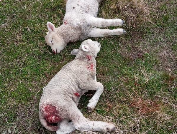 Perros mataron 30 ovejas a pequeño productor