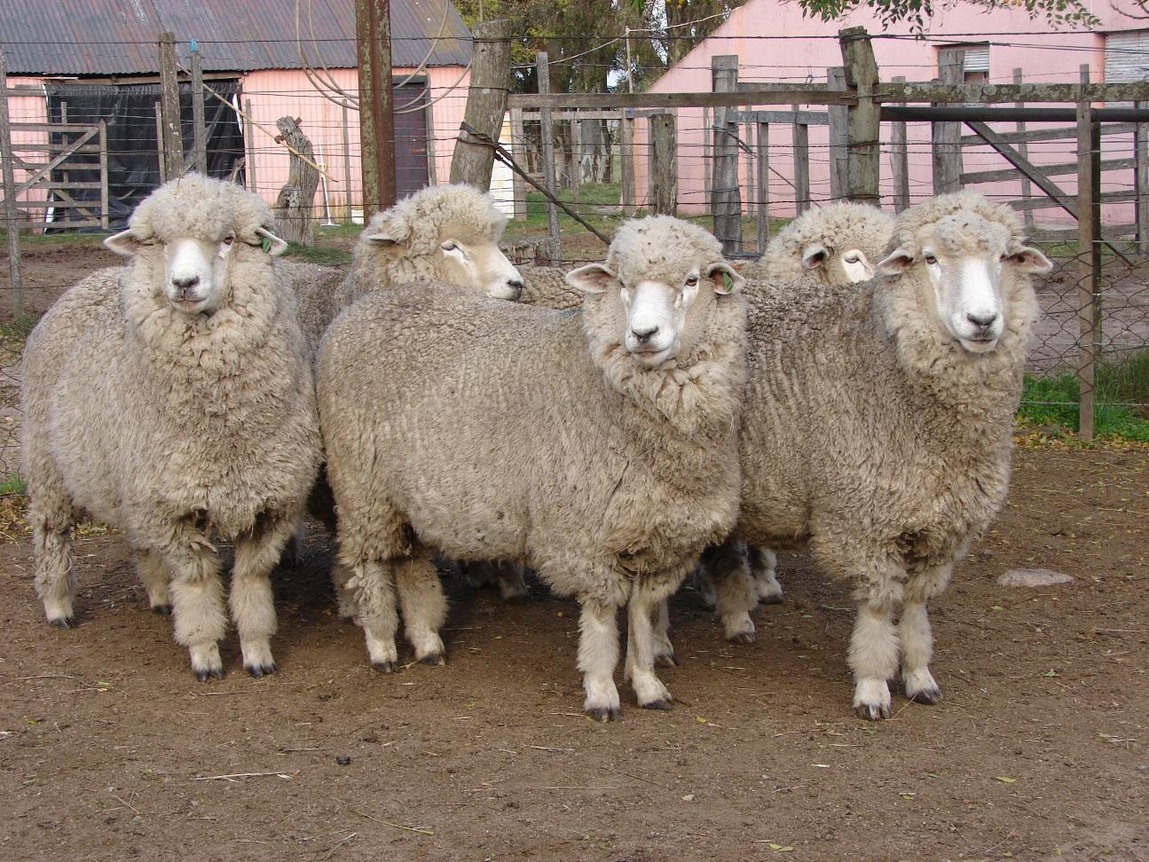 Concurso de proyectos en producción ovina para jóvenes organizado por Corriedale Uruguay
