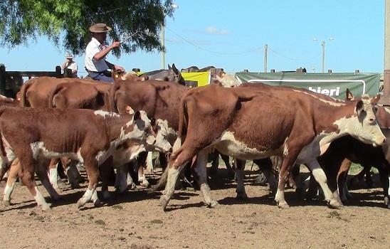 La vaca fue la vedette en Cuchilla de Silvera