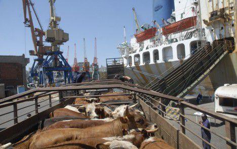 En enero habrá tres exportaciones de ganado en pie