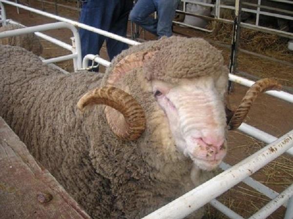 Australia estima un crecimiento del 5,2 en la producción de lana en la zafra 2021/2022