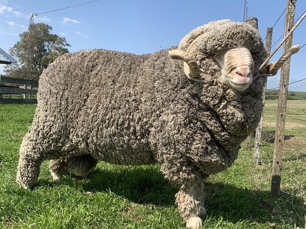 En lo local, la lana tuvo una operativa reducida