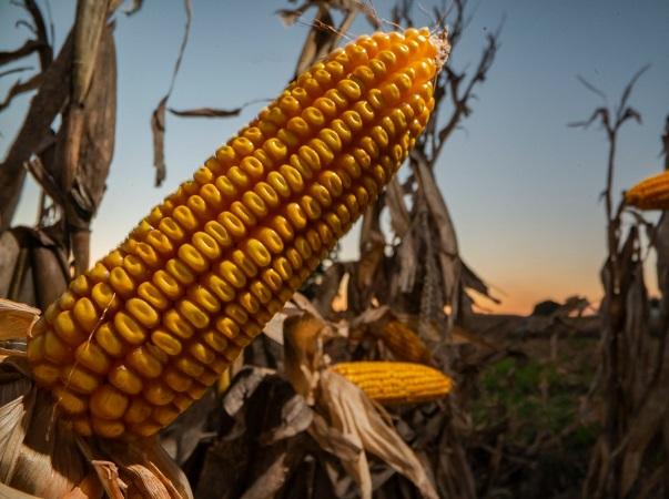 Gobierno argentino va ahora por las exportaciones de maíz