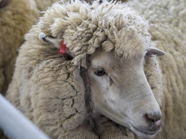La plaza local de lanas sigue sin cambios