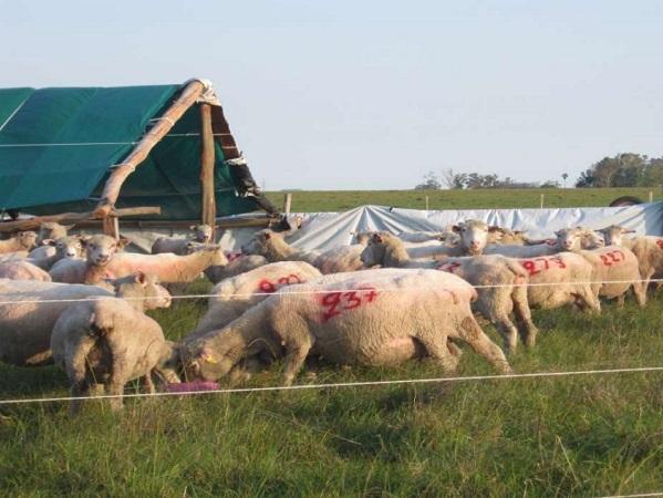 El productor identifica la sobrevivencia del cordero como un área a mejorar