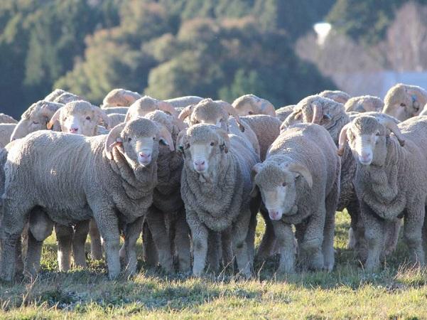 Los datos preliminares del stock ovinos presentan una caída de casi 88 cabezas