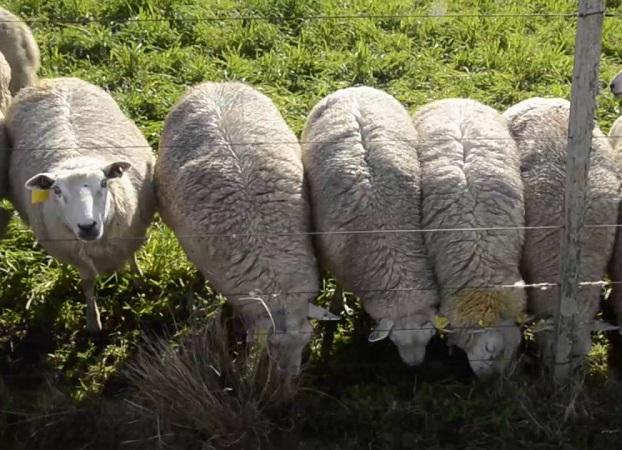 Reducida operativa en el mercado local de lanas