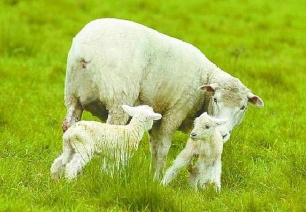 Algunos números de ecografías en lanares