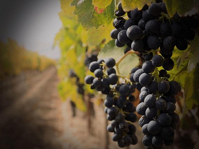 La vitivinicultura uruguaya, argentina y chilena