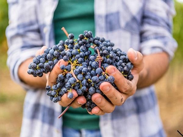 La uva representa el 70 % de la calidad del vino por encima de la técnica