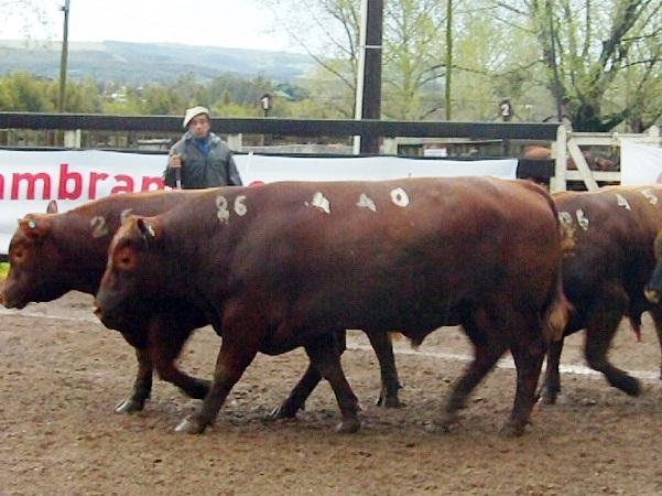 Con Zambrano & Cía. los toros de Santa Teresa del Cebollatí promediaron U$S 2.820
