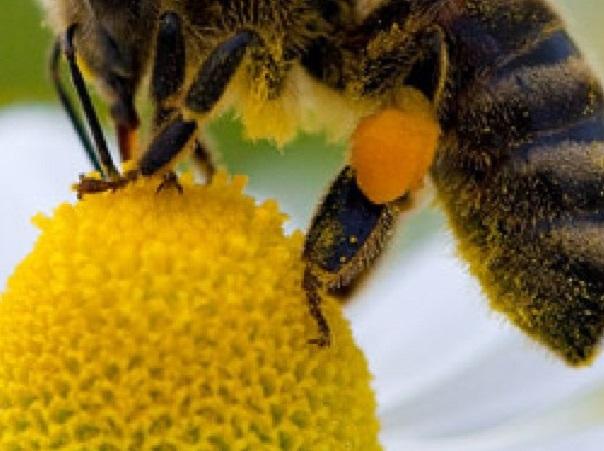 Analizan los efectos del glifosato sobre el desarrollo de la abeja de la miel