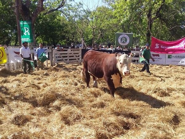 Toro de El Paraíso se vendió en U$S 6.000