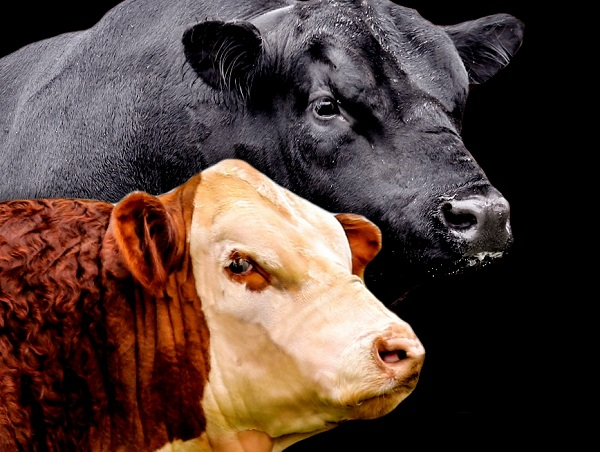 Informe especial zafra de toros 2019: más toros vendidos con valores mejores en un 20 % respecto a 2018