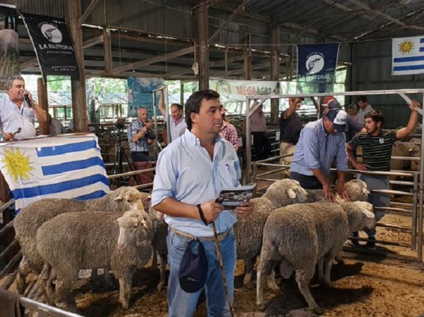 Finalizado el remate Capurro destacó la finura de la lana y producción de carne de los Merino Dohne