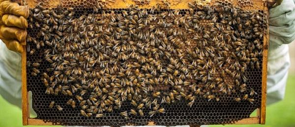 En 2030 la UE reducirá a la mitad uso de pesticidas para proteger a las abejas y la biodiversidad