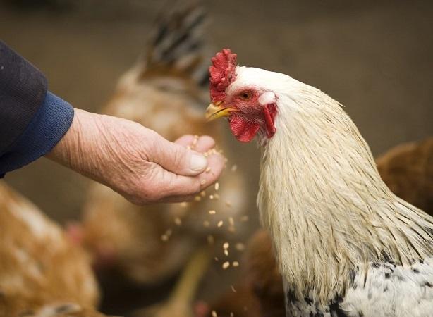 El papel del ser humano en los brotes de enfermedades de las aves domésticas