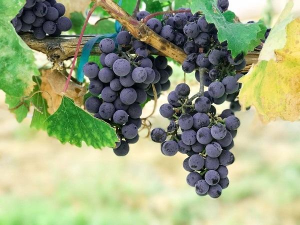 La vitivinicultura emplea a 40.000 personas y tiene gran potencial