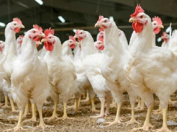 El futuro de la carne es el pollo