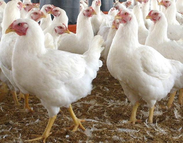 China aumenta la producción de pollos y disminuye la presión por importaciones