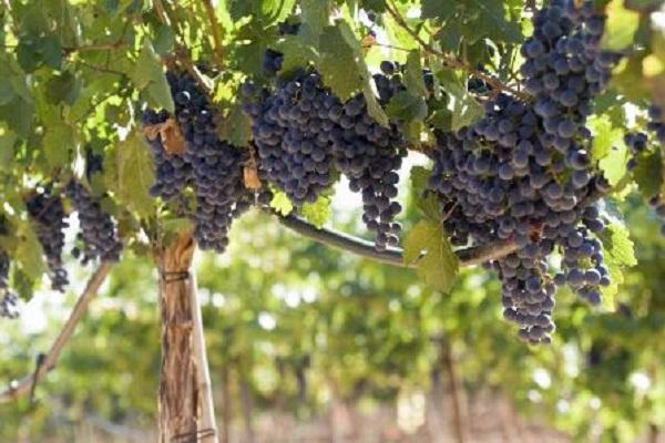 Siguen cayendo las exportaciones de vino chileno