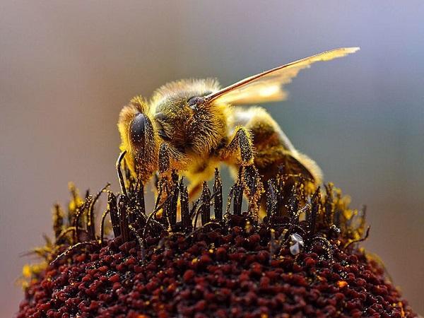 Karl von Frisch y el lenguaje de las abejas