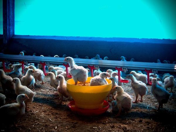 Nuevo enfoque de la bioseguridad en las granjas avícolas
