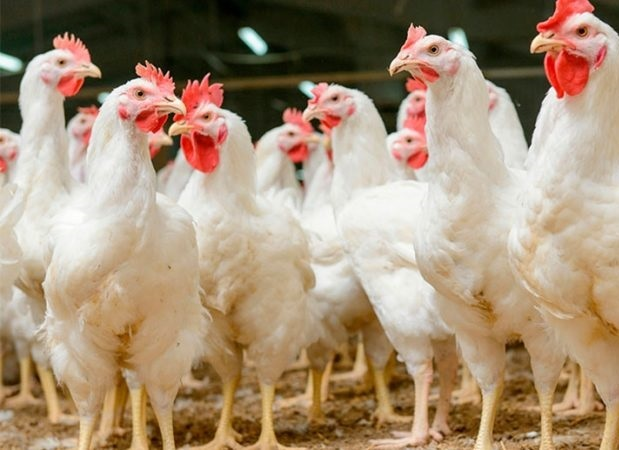 Elecciones en la Asociación de Faconeros de Pollos Unidos