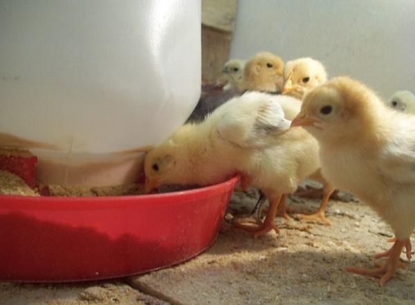 A partir de 2022 Alemania prohibirá matanza de pollitos machos