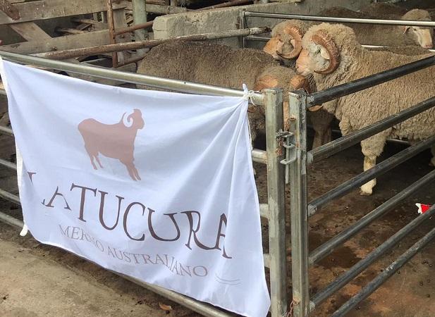 Zambrano vendió 371 ovinos, de 4 cabañas, y 4 razas, en un día