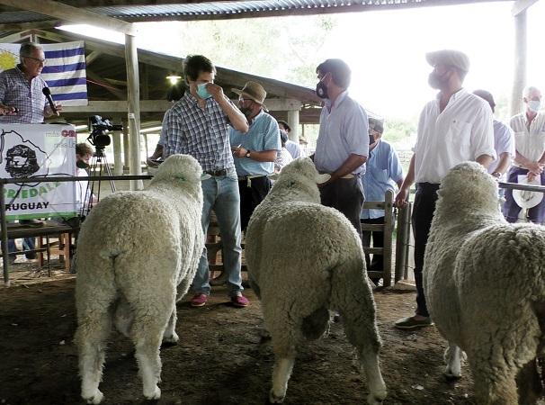 Dispar la zafra de reproductores ovinos en la zona de Lavalleja